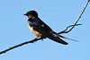 Barn Swallow 23 Jul 2019