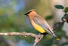 Cedar Waxwing 21 Jul 2019