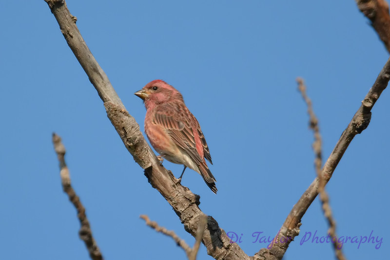 Purple Finch 4  Sept 2 2017