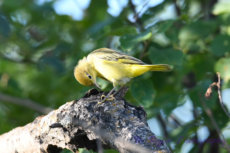 Yellow Warbler juvenile July 27 2020