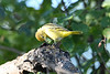 Yellow Warbler juvenile July 27 2020