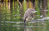 Black Crowned Night Heron juvenile 2 Aug 25 2018