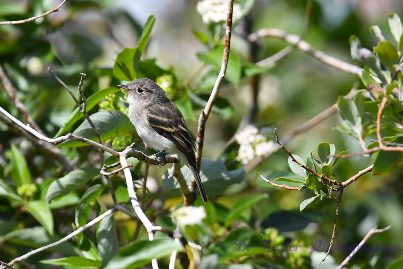 Lest Flycatcher 4 July 22 2018