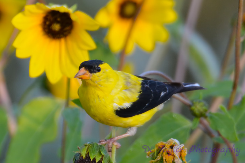 American Goldfinch male 3   in Daisies Aug 16 2017