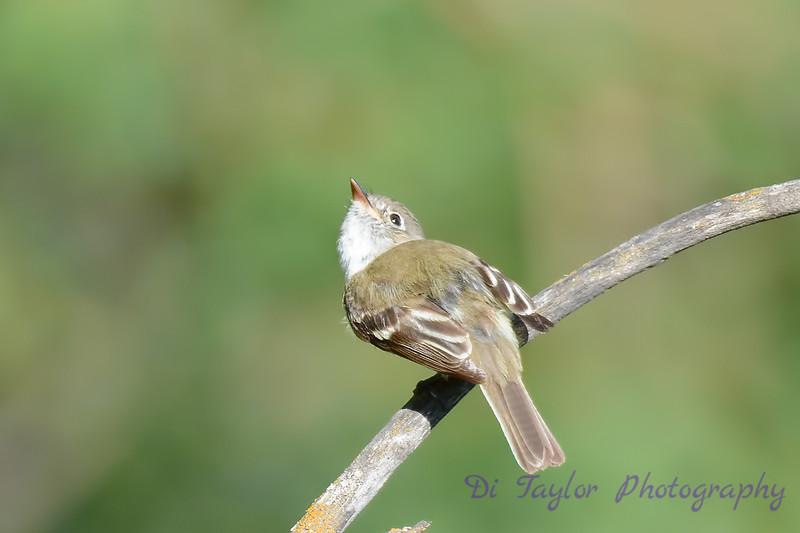 Yellow Bellied Flycatcher 2