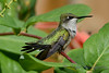 Ruby Throated Hummingbird in Honeysuckle Trumpet Vine 57