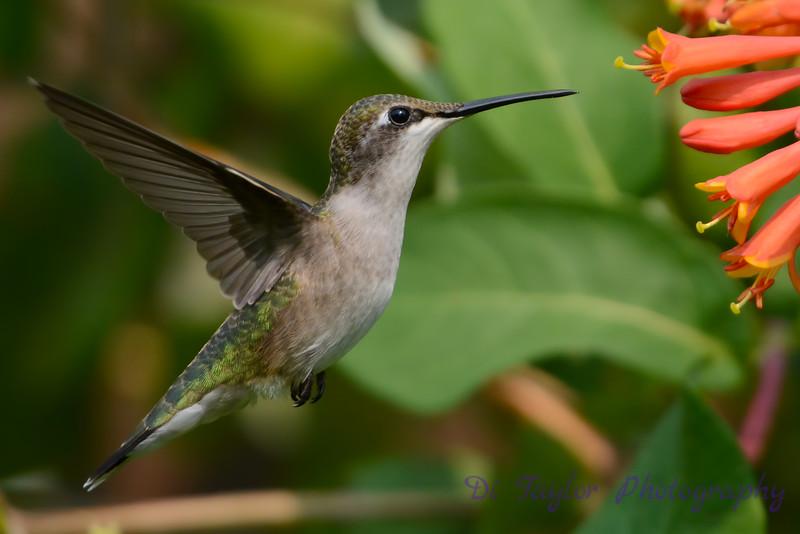Female Ruby Throated Hummingbird in honeysucklet trumpet flower 7