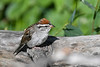 Chipping Sparrow 27 Jul 2019