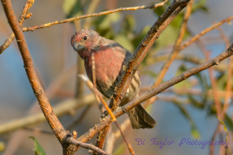 House Finch Aug 31 2017
