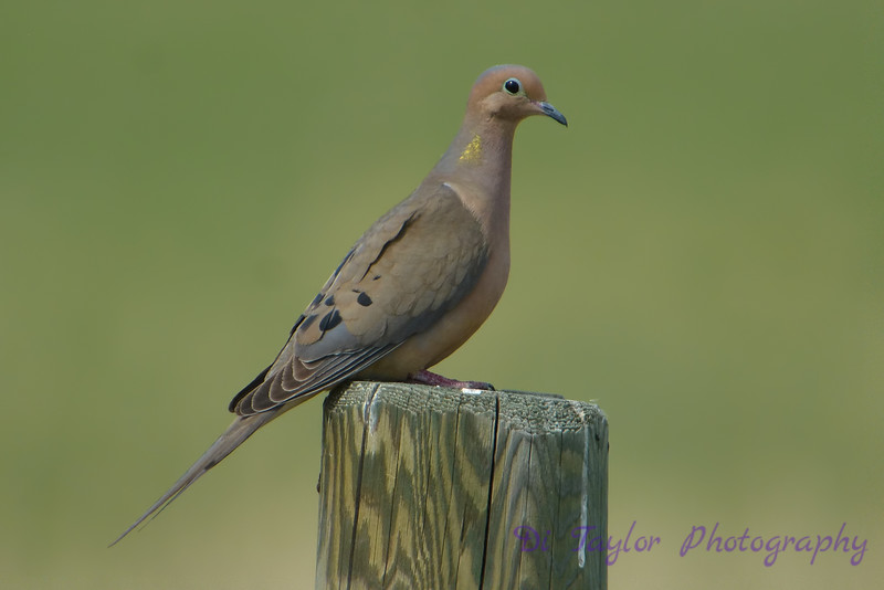 Mourning Dove on fence post