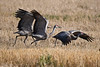 Sandhill Cranes starting to take off Oct 7 2018