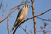 American Kestrel in tree 3