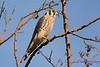 American Kestrel in tree 3