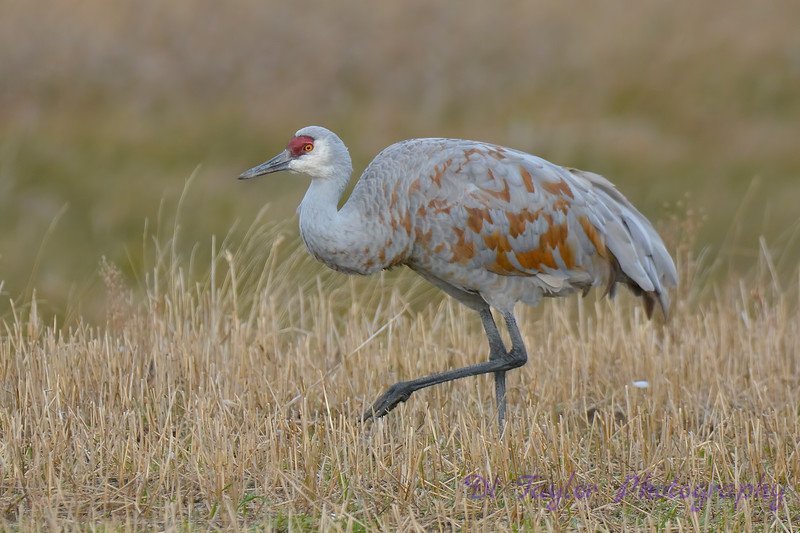 Sandhill Crane 5  Oct 28 2017