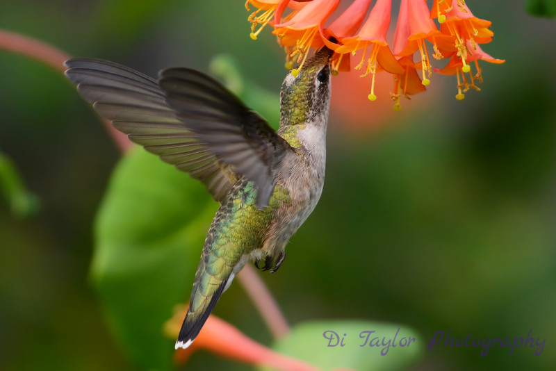 Female Ruby Throated Hummingbird in honeysuckle trumpet flowers 30