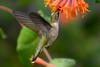 Female Ruby Throated Hummingbird in honeysuckle trumpet flowers 30