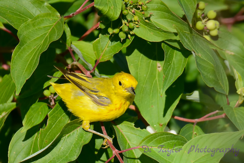 Yellow Warbler in tree 8