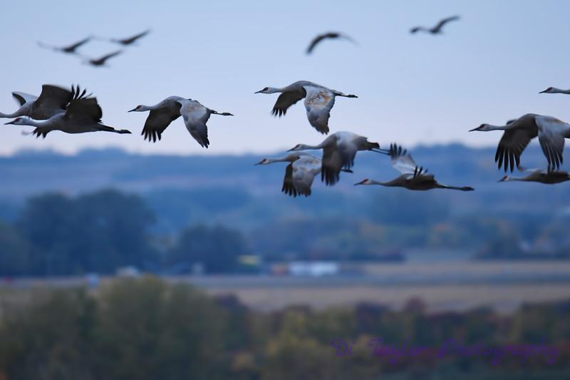 Sandhill Cranes Fall Migration 2 Sep 15 2018
