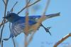 Bluebird 8 B