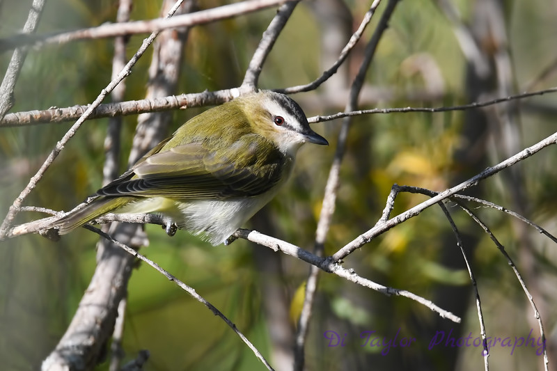 Red Eyed Vireo 7 Sep 7 2018