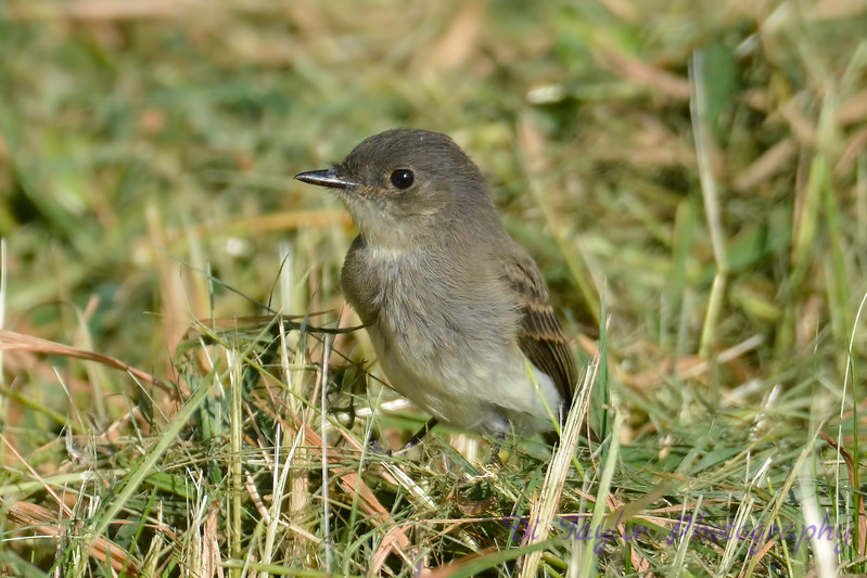 Least Flycatcher Sep 2 2017