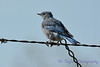 Mountain Bluebird juvenile male Sep 4 2017