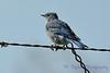 Mountain Bluebird juvenile male Sep 4 2017