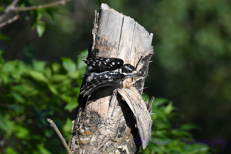 Hairy Woodpecker July 26 2020