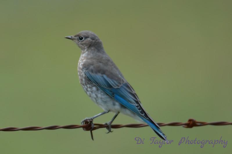 Mountain Bluebird Very Young Juvenile  8 July 2017
