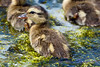 Baby Duckling with brothers