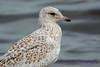 Jeuvenile Ring-billed gull