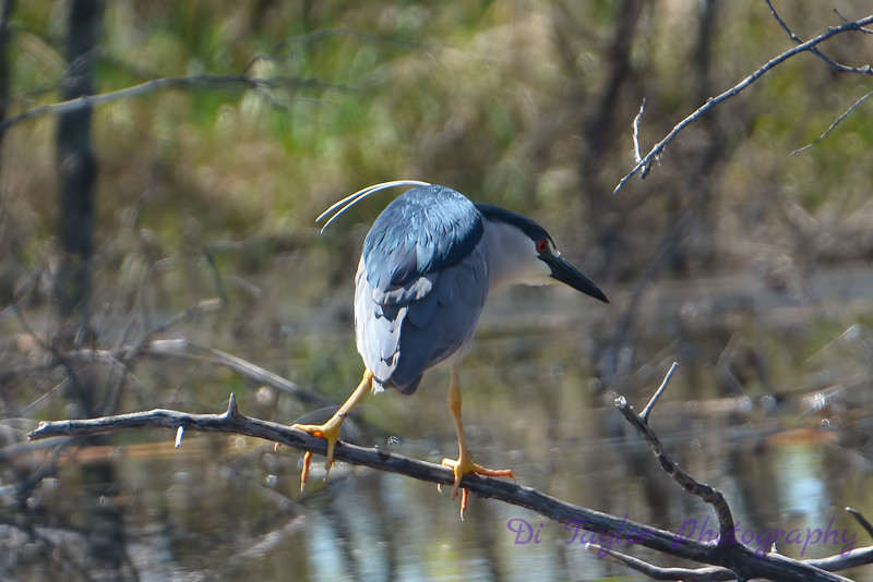 Night Heron 3