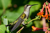Jeuvenile Ruby throated hummingbird in honeysuckle trumpet vine 4