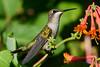 Jeuvenile Ruby throated hummingbird in honeysuckle trumpet vine 4