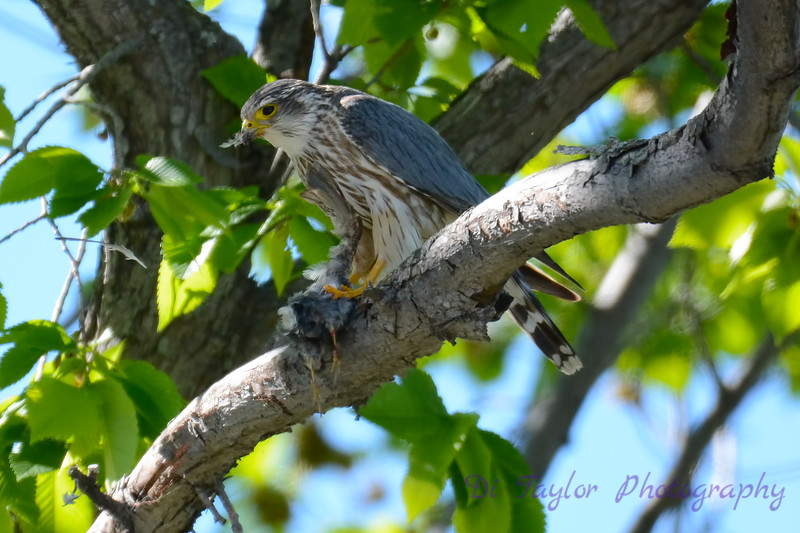 Merlin with meal