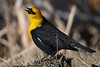 Yellow headed blackbird May 6 2018