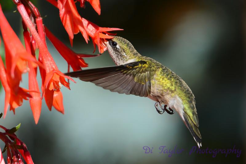 Ruby Throated Hummingbird in Fuschia 6