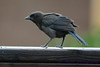 Common Grackle Juenvile 2