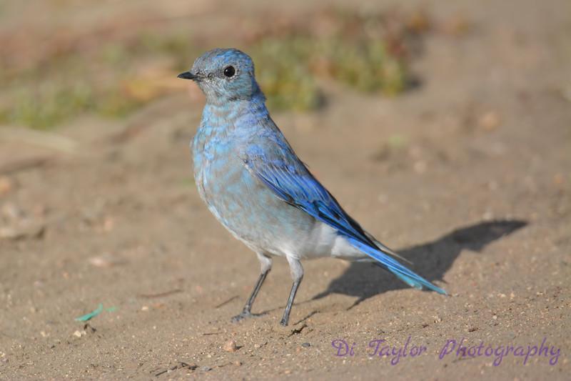 Mountain Bluebird young male Aug 22 2017