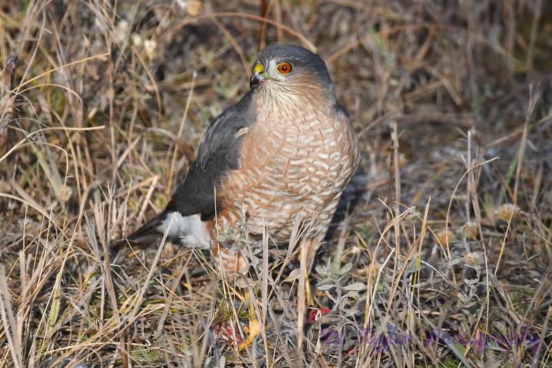 Coopers Hawk 3 Oct 7 2018