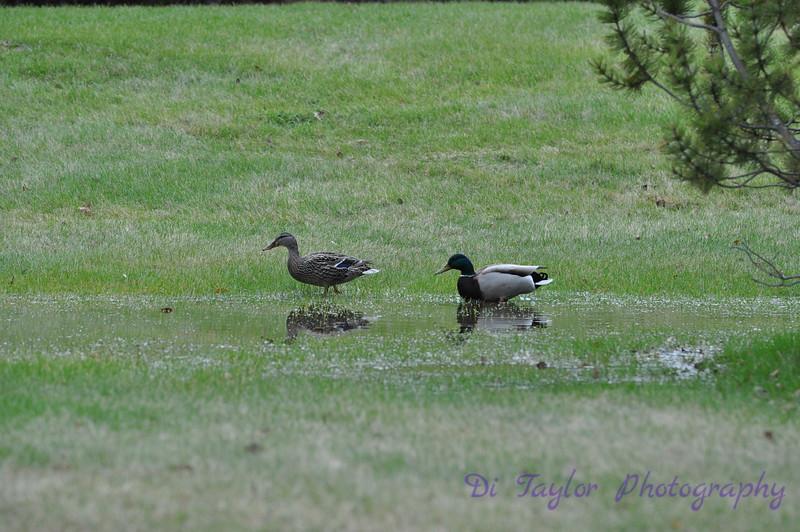 Mallard duck pair in spring, Saskatchewan