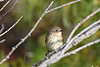Yellow Rumped Warbler 8 Sep 13 2020