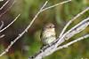 Yellow Rumped Warbler 8 Sep 13 2020