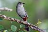Gray Catbird 2