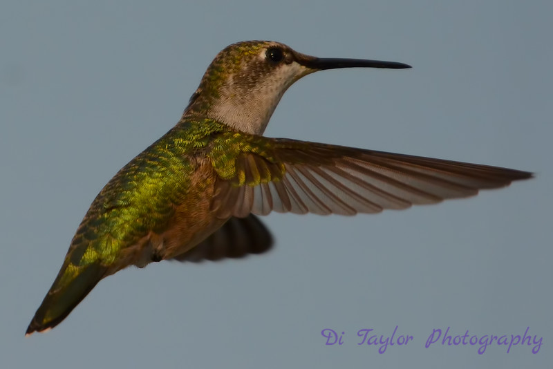 Female Ruby throated hummingbird closeup 2