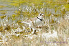 Piping Plover 6
