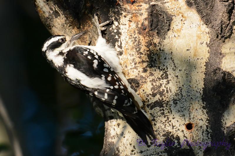 Hairy Woodpecker 5