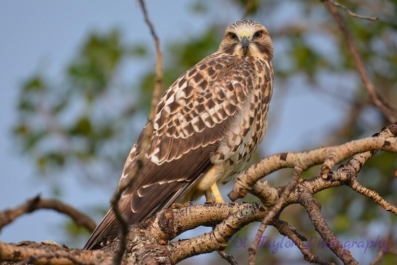 Swainson Hawk juvenile Aig 19 2017