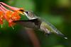 Female Ruby Throated Hummingbird with Honeysuckle 22