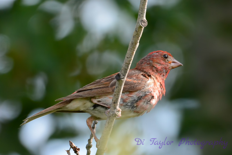 Purple Finch Male 3